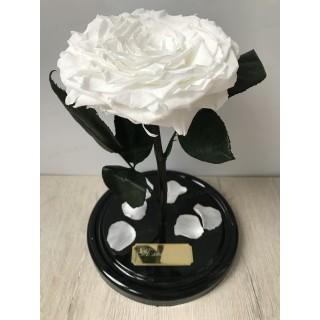 Белая King роза